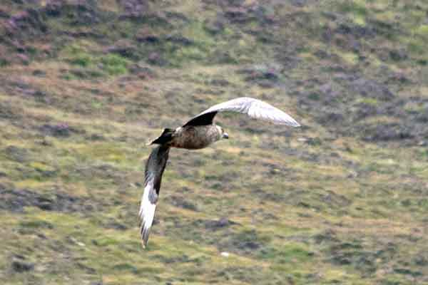 The Northern Great Skua: Beware the Bonxie on the Island of Hoy, The Orkneys.