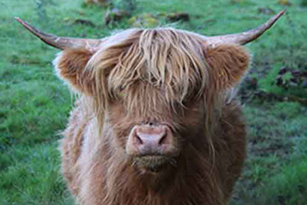 How do you moo? Highland cattle on Westray, The Orkneys