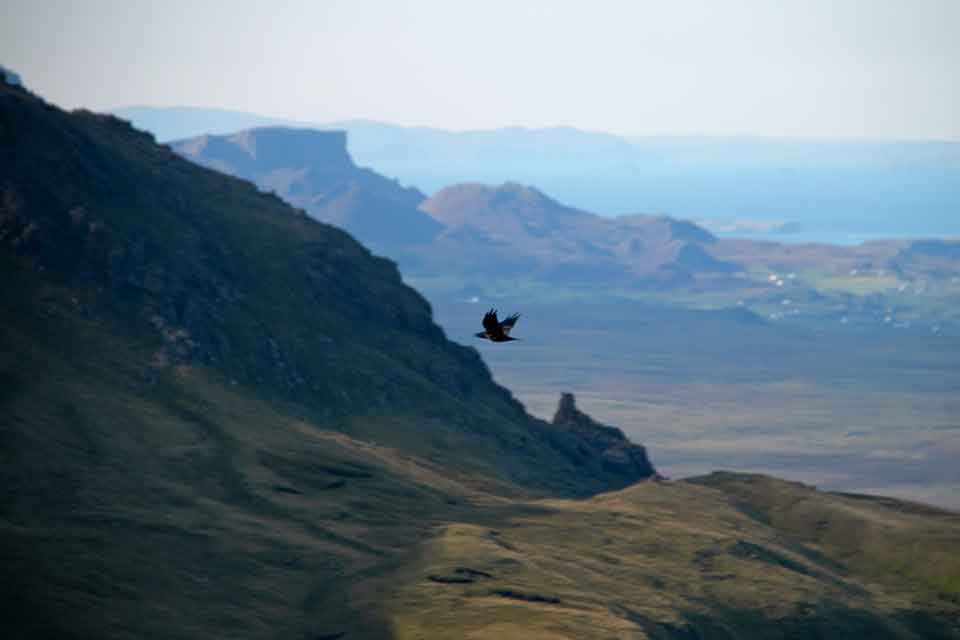Golden Eagle soaring over The Old Man of Storr
